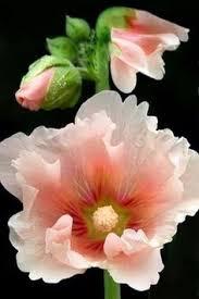 Flower Love Pics - розы blue roses rose and flowers