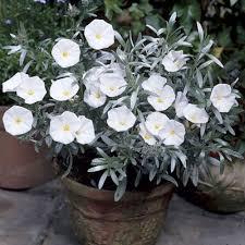 White Trumpet Flower - wildlife evergreen shrubs shrub and evergreen