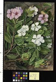 madagascar native plants catharanthus roseus l g don plants of the world online kew