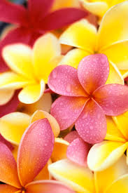 plumeria flowers studio of yellow and two pink plumeria flowers water drops