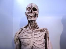 Human Anatomy Male Human Anatomy Male Model 24 Inch Polyresin U2013 Hotmodeltoy
