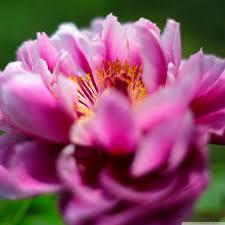 google images flower peony flower hd desktop wallpaper widescreen high definition