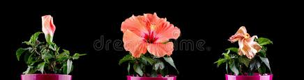 flower blooming hibiscus flower blooming stages time lapse stock photo image of
