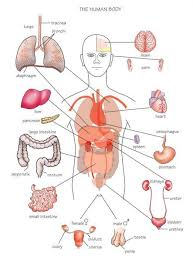 Picture Of Human Anatomy Body Diagram Of Internal Organs Tutorvista Com
