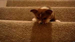 Go Down Stairs by Puppies Vs Stairs The Ultimate Supercut Video Huffpost