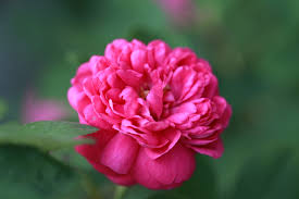 bernard lexus brighton the graceful gardener wordless wednesday roses u2026in my garden