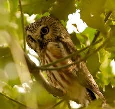 northern saw whet owl wikipedia