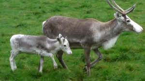 real reindeer local classifieds for sale in the uk and ireland