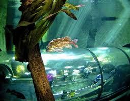 Oregon snorkeling images Oregon coast aquarium snorkeling program lets us swim with fishes jpeg