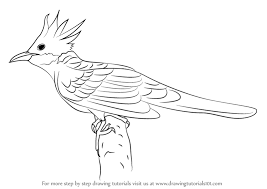 learn draw cuckoo birds step step drawing tutorials