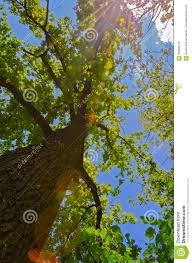 imagenes de bottom up view of the tree from the bottom up stock image image of single