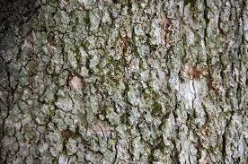White Oak Tree Bark Photo Challenge Texture Bisonwoman U0027s Blog