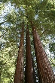 what is the tallest tree in california top ten trees here2helps
