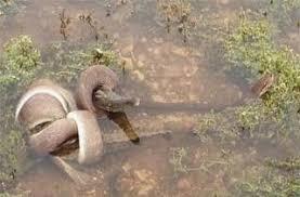 film ular phyton ular phyton lawan buaya siapa menang apa kabar dunia