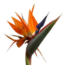 bird of paradise flower flower facts birds of paradise strelitzia reginae grower
