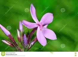 native prairie plants illinois downy phlox flower illinois prairie stock photo image 80416896