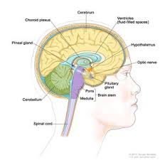 What Portion Of The Brain Controls Respiration Pituitary Gland National Library Of Medicine Pubmed Health