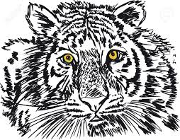 sketch of white tiger illustration royalty free cliparts vectors