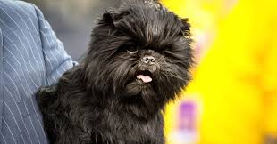 affenpinscher how much do they cost champion dog handler u0027s show and tell