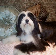 hair cuts for the tebelan terrier 26 best tibetan terrier images on pinterest tibetan terrier