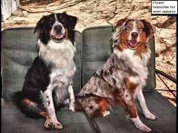 australian shepherd dogtime lovely pics of dog breed australian shepherd dogs australian