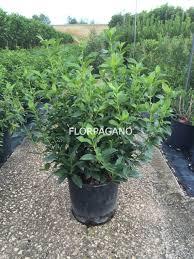 buxus sempervirens in vaso viburnum tinus pot 24 vivaio outdoor plants florpagano di