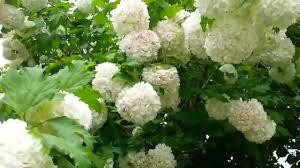 tree with white flowers flowering tree beautiful flowers white balls