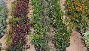 native hedging plants uk pot grown root trainers perrie hale nursery uk grown hedge