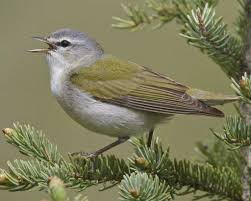 Tennessee birds images Tennessee warbler audubon field guide jpg