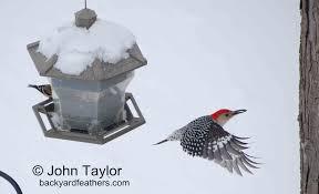 the 13th annual great backyard bird count john u0027s backyard bird