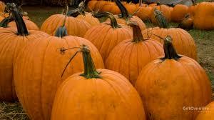 cute pumpkin backgrounds autumn pumpkins desktop wallpaper wallpapersafari