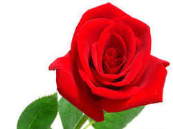 Flower Rose Rose Flower In Coimbatore Tamil Nadu Manufacturers U0026 Suppliers