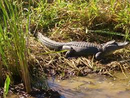 Map Of Alabama And Tennessee by 4 Of The Best Places To Spot Alligators In Lower Alabama