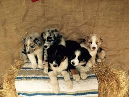 australian shepherd akc view ad australian shepherd puppy for sale north carolina