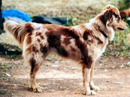 australian shepherd long hair las rocosa australian shepherds