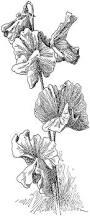 Sweet Pea Images Flower - free vintage digital stamps free vintage digital stamp sweet