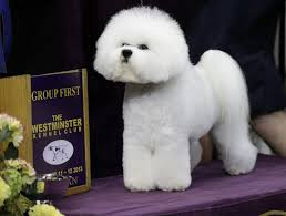 affenpinscher crufts 2016 va beach bichon is one of westminster u0027s top dogs pets