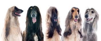afghan hound black hair caring for an afghan hound u0027s coat animalwised