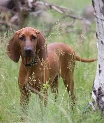is a bluetick coonhound a good pet best 25 redbone coonhound ideas on pinterest red bone hunting