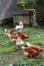 270 best chickens images on pinterest chicken coops raising