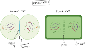 bacterial binary fission the cell cycle and mitosis article