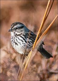 Backyard Song 42 Best Birds Images On Pinterest Beautiful Birds Backyard