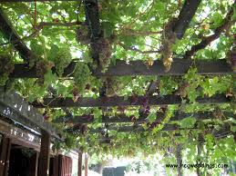 9 best beautiful grape arbors images on pinterest grape arbor