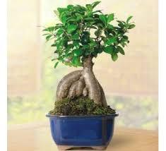 bonsai plants n tree for sale bonsai shop in india at