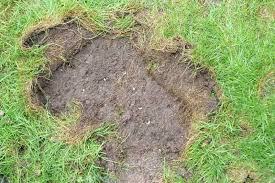 How To Get Rid Of Moles In The Backyard by Grubs In Lawn