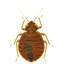 Bed Bugs Smell Pest Control Blog Arrow Exterminating