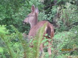 i love sharing my backyard with deer hamster dreams