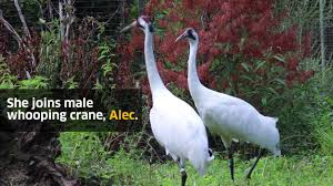 Stoneham Zoo Lights by New Female Whooping Crane On Exhibit At Stone Zoo Youtube