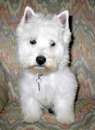 images of westie hair cuts westie grooming