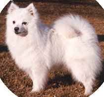 american eskimo dog what do they eat american eskimo dog faq frequently asked questions